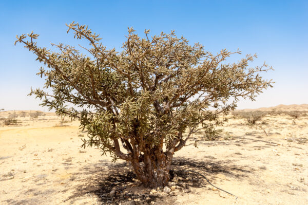 Frankincense trees at unesco world heritage site of Wadi Dawkah