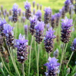 Lavendel  Mailette 10 ml