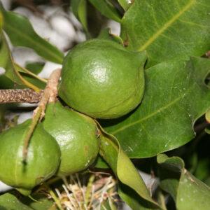 Macadamianötsolja, ekologisk 100 ml