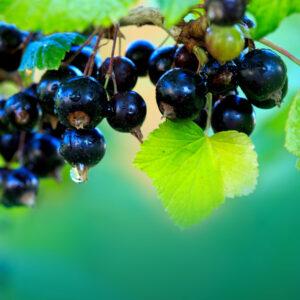 Svarta vinbär vatten, Black currant hydrosol 100 ml